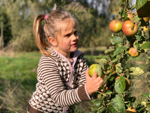 Apfelernte im September